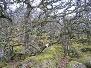 Black a Tor Copse, Dartmoor